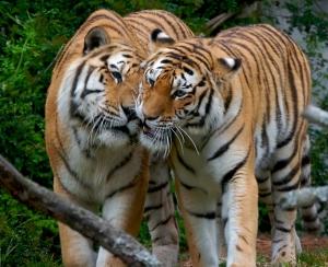 tiger.love